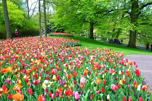 Keukenhof - Field of Tulips