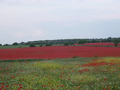 Campo de amapolas del Urgell Trrega (targarina) Tags: flores planta rojo amarillo campo catalunya silvestre catalua lleida amapolas trrega semilla campodeamapolas verdecomarcaurgell