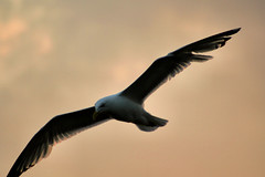 sunset gull (Moyer566) Tags: sunset bird wisconsin fly flying seagull gull ephraim soaring doorcounty soar