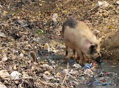 Agra Pet Pig Who Happens to Dine On Trash