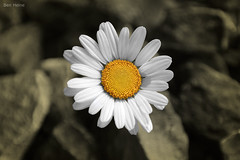 There is a Sun in Every Flower (Ben Heine) Tags: wallpaper sun flower color detail macro art love nature fleur beauty closeup jaune print lights freedom soleil countryside petals spring focus pretty poem peace dof heart bright earth geometry stones air centre birth clarity coeur dessin sharp oxygen amour libert daisy terre conceptual breathe copyrights naissance paquerette ecosystem selective joli bloem fertile vrijheid noyau petersquinn yellowdisk benheine campagnard flickrunited samsungnx10 infotheartisterycom cerclism thereisasunineveryflower samsungdigitalimagingcoltd