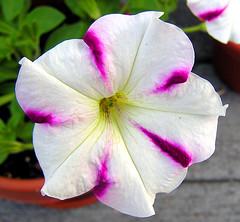 6910 Wave Petunia - White and Purple (lcm1863) Tags: flowers white june spring purple pennsylvania deck adamscounty hennysgardens