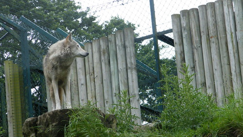 Grey Wolf in Dublin Zoo