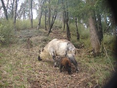 Takin (eMammal) Tags: takin wolong budorcastaxicolor taxonomy:common=takin geo:lon=32628 sequence:index=1 sequence:length=1 otherhoovedmammals taxonomy:group=otherhoovedmammals siwild:study=wolongcameratrapsurvey siwild:studyId=wolongbaitedsets geo:locality=china siwild:date=200904221808000 siwild:trigger=tjh080907501045 siwild:imageid=tjh080907501045 sequence:id=tjh080907501045 file:name=tjh080907501045jpg taxonomy:species=budorcastaxicolor siwild:plot=tangjiahe siwild:location=tjh0809075 siwild:camDeploy=chinadeploy170 geo:lat=104759 sequence:key=1 file:path=dchinachinacameraimagedigitalafter2008tangjiahenaturereservetjh080907501tjh080907501045jpg siwild:region=china BR:batch=sla0620101119044543 siwild:species=12