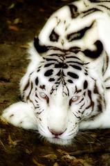 White tiger (* Thierry *) Tags: park wild portrait cats white france eye nature face animal animals closeup topv2222 cat zoo eyes nikon feline wildlife tiger topv5555 topv3333 topv4444 glance blanc tigre whitetiger 2007 regard flin felin eyeofthetiger beauval animalpicture tigreblanc aplusphoto flickrelite