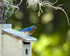 Bluebird wallpaper- GO Large (T2i's vault) Tags: wallpaper bird art paint birdhouse bluebird eastern