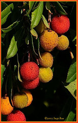 Strawberry Tree  *Explore (Kazooze) Tags: trees nature fruits strawberrytree naturesfinest srj splendiferous
