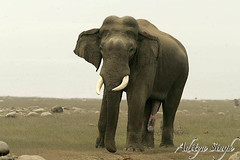 Musth elephant in Corbett (dickysingh) Tags: wild india nature landscape outdoors outdoor wildlife aditya elephants asianelephant corbett singh tusker dicky naturesfinest asiaticelephant ranthambhorebagh thatsbostin adityasingh dickysingh ranthamborebagh theranthambhorebagh