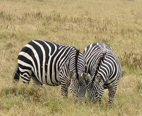 Zebra Composition