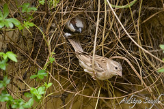 Nesting House Sparrows (dickysingh) Tags: wild india bird nature birds nest outdoor wildlife aditya ranthambore singh ranthambhore dicky ranthambhorebagh bfgreatesthits adityasingh dickysingh ranthamborebagh theranthambhorebagh