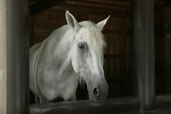 Sacred horse 御料御馬