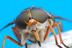[フリー画像] [節足動物] [昆虫] [虻/アブ] [ウシアブ]       [フリー素材]