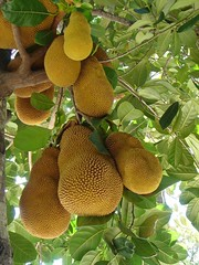 Lombok jackfruit, Indonesia (Rana Pipiens) Tags: yellow fruit indonesia lombok jackfruit ishflickr
