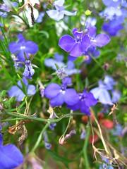 flowers flower garden lobelia