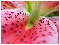 Nipleflower (Sebastian.Stevens) Tags: macro olympus c5050z niples