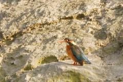カワセミ / Kingfisher