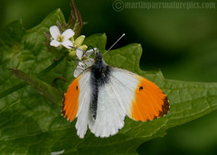 Orange tip (Anthocharis cardamines) (M.D.Parr) Tags: uk england nature butterfly britain wildlife butterflies insects british hertfordshire herts orangetip anthochariscardamines
