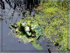 What a happy frog ... (ruschi_e) Tags: reflection schweiz switzerland pond frog teich frosch spiegelung duckweed wasserlinsen abigfave anawesomeshot citrit ruschie kunstplatzlinternational