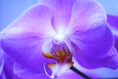 Mauve Splendor (bigbrowneyez) Tags: flower glorious purpleorchid naturesbeauty orchidpetals macrodetails feastyoureyes wonderfulworldofflowers purpleflickr mauvesplenor mauveglow lifesproblemsdisappear lifessplenor bluemauveyellow