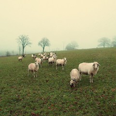 mhhhh (Silkelarium) Tags: november nature germany landscape deutschland nebel hessen sheep natur felder wiesen olympus landschaft schafe ep1 landleben vogelsberg schafherde lautertal oberhessen bestcapturesaoi magicunicornverybest olympusep1 elitegalleryaoi silkelarium dirlammen