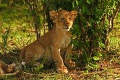 Cub in the Bush. (Picture Taker 2) Tags: africa cats baby cute nature beautiful animals closeup kids children outdoors cub colorful pretty babies native wildlife lion lions curious wilderness plains predator upclose mammals lioness bigcats exciting lioncubs newlife wildanimals animalbabies babyanimals naturesfinest africaanimals masimarakenya
