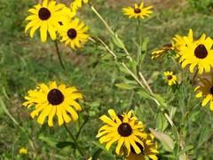 Black Eyed Susans (theta31) Tags: flowers flower blackeyedsusan