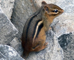 ***EXPLORE*** FBI- chipmunk on the rocks (Frozen in Time photos by Marianne AWAY OFF/ON) Tags: rocks scout explore fbi chipmunks blueribbonwinner flickrexplore favorites5 flickrscout thefavorite mywinners nationalgeographicwannabes mywinnerstrophy shieldofexcellence impressedbeauty impressedbyyourbeauty blueribbonphotography blueribbonaward scoutflickrexplore freenature favoritesbyinterestingness myphotosthatmadeittoscout scoutflickr photothatmadeittoexplore natureunlimited photosthatmadeittoexplore natureselegantshots explorewinnersoftheworld explore752007195 photosthatmadeittoscoutexplore nationalgeographiswannabes