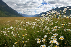 The smell of summer (Daniel Murray (southnz)) Tags: newzealand wild summer flower landscape scenery nz eglinton daisy southisland blueribbonwinner abigfave mountaindaisy southnz