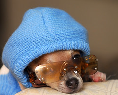 Biggie in the Hood (*Kendall*) Tags: chihuahua hood doggles biggie dogsweater cutepuppy dogsunglasses
