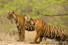 Tiger cubs in ranthambore 1 (dickysingh) Tags: wild india nature outdoor wildlife tiger bigcat aditya ranthambore singh tigercubs bengaltiger ranthambhore dicky wildtiger ranthambhorebagh adityasingh dickysingh ranthamborebagh theranthambhorebagh