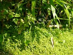 Bamboo & Soleirolia // Bambou & Helxine