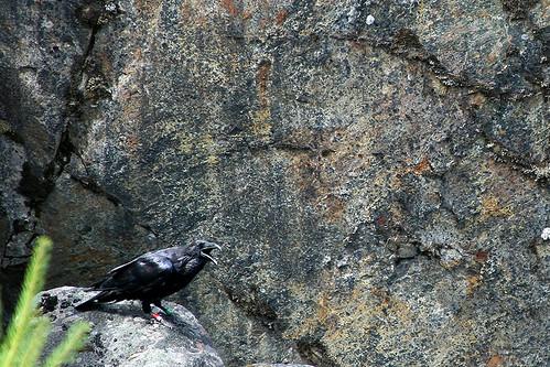Banded Raven
