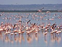 Lots of flamingos 3 (Tambako the Jaguar) Tags: lake water flying fishing kenya flamingos nakuru photofaceoffwinner pfosilver
