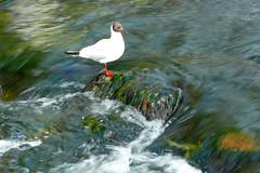 Galway Gull - by zrim
