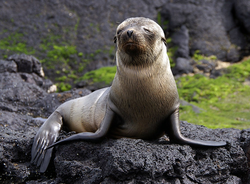 Galapagos sea lion Santiago Puerto Egas by putneymark.