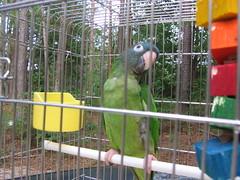 bird parrot cage kermit conure bluecrownedconure