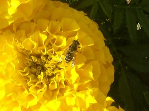 Bee on marrigold