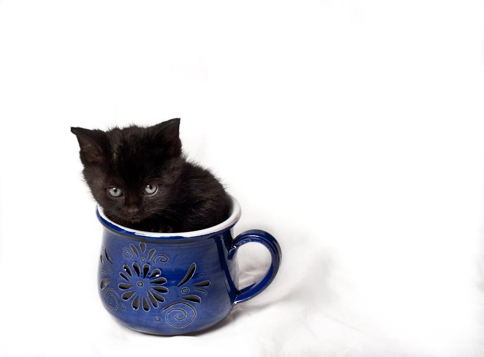 Teacup Kitten II