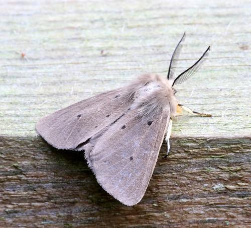 Muslin Moth (Diaphora mendica)