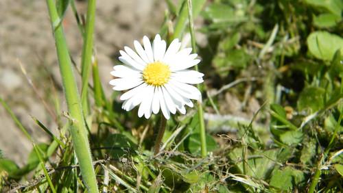 daisy-original