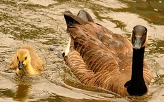 Mama and Baby (Ducklover Bonnie) Tags: impressedbeauty img1821 andbaby mothercanadagoose