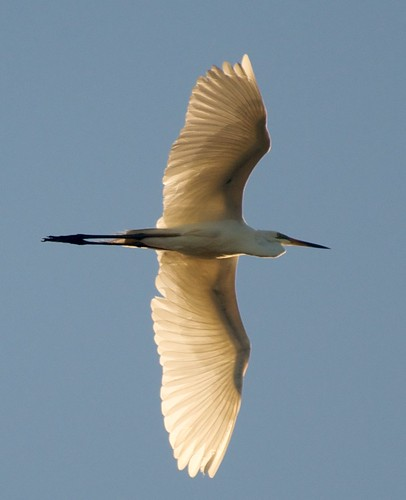 Great_Egret_in_Flight
