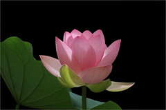 Lotus Flower - IMG_3140 (Bahman Farzad) Tags: flower macro yoga peace lotus relaxing peaceful meditation therapy lotusflower nelumbo lotuspetal nucifera lotuspetals lotusflowerpetals lotusflowerpetal