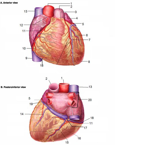 heart with vessels quiz