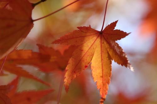 イロハモミジ Japanese Maple