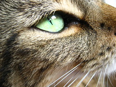 Eye of the tiger (TabascoEye) Tags: green eye cat hair scary whiskers cateye katzi bestofcats aplusphoto