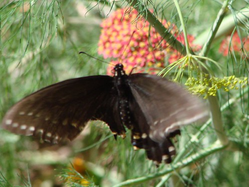 "black swallowtail on dill • <a style=""font-size:0.8em;"" href=""http://www.flickr.com/photos/10528393@N00/613541310/"" target=""_blank"">View on Flickr</a>"