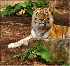 Hey! Some privacy please (Kirsten M Lentoft) Tags: topv111 copenhagen denmark zoo tiger animalkingdomelite colorphotoaward aplusphoto momse2600 searchandreward jalalspagesanimalkingdomalbum kirstenmlentoft