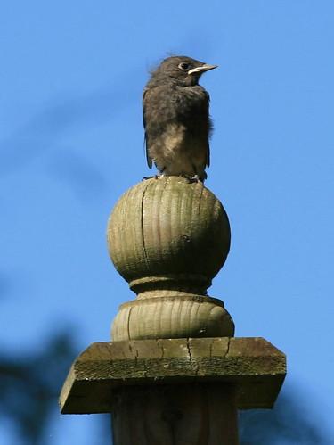 fledgling2