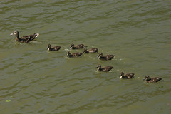 Duckies!!! (Pindakaas1) Tags: animal animals duck group ducks 8 babie